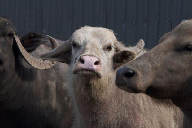 Bestiaire (Denis Côté) Les buffles
