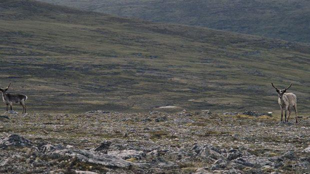 Image de caribous, extraite du film Tuktuq de Robin Aubert