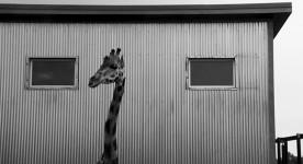 La girafe du film Bestiaire de Denis Côté